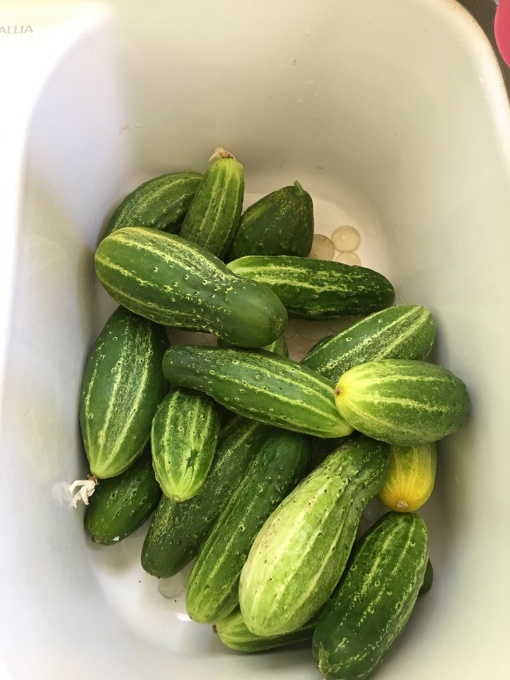 many cucumbers in the sink